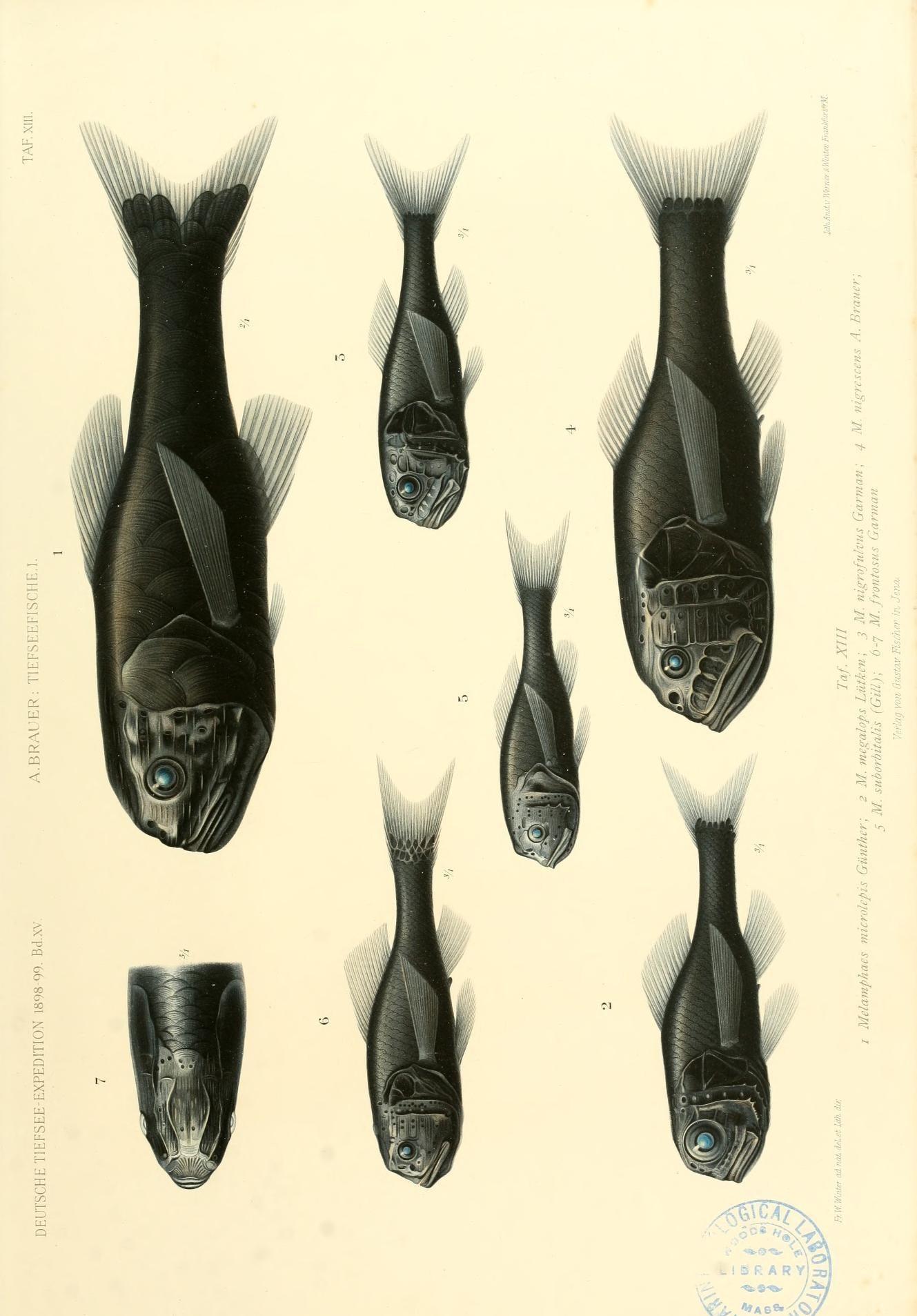 Image of <i>Poromitra frontosa</i> (Garman 1899)