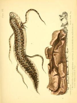 Image of <i>Lepidosiren annectens</i>