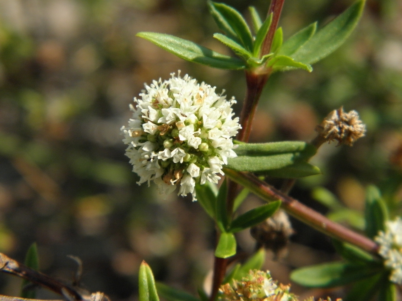 Image of prostrate false buttonweed