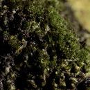 Image of eucladium moss