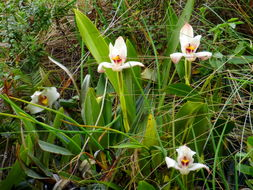Image of <i>Maxillaria grandiflora</i> (Kunth) Lindl.
