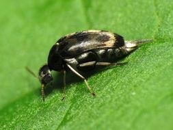Image of <i>Paramordellaria triloba</i> (Say 1824)