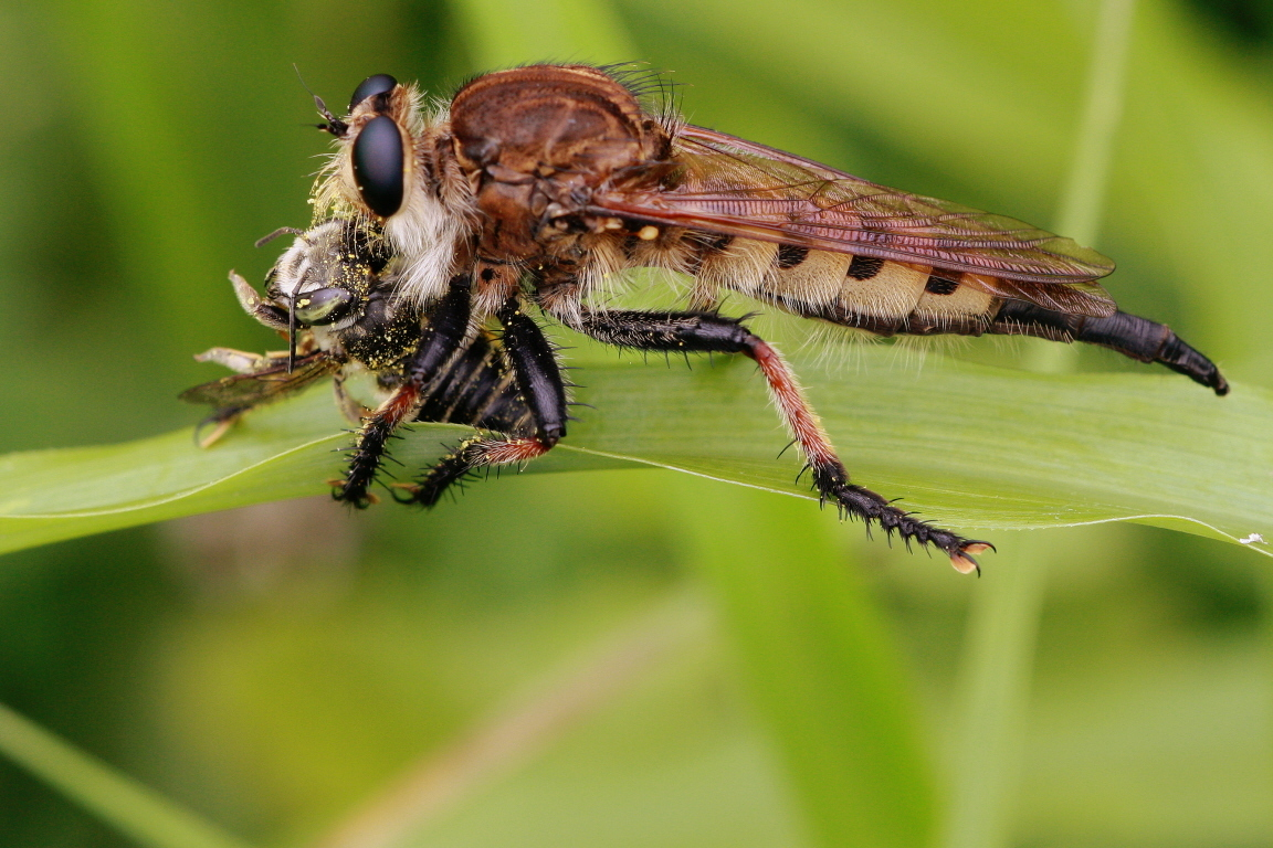 Image of Red-footed Cannibalfly