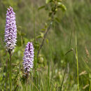 Image of Common spotted orchid