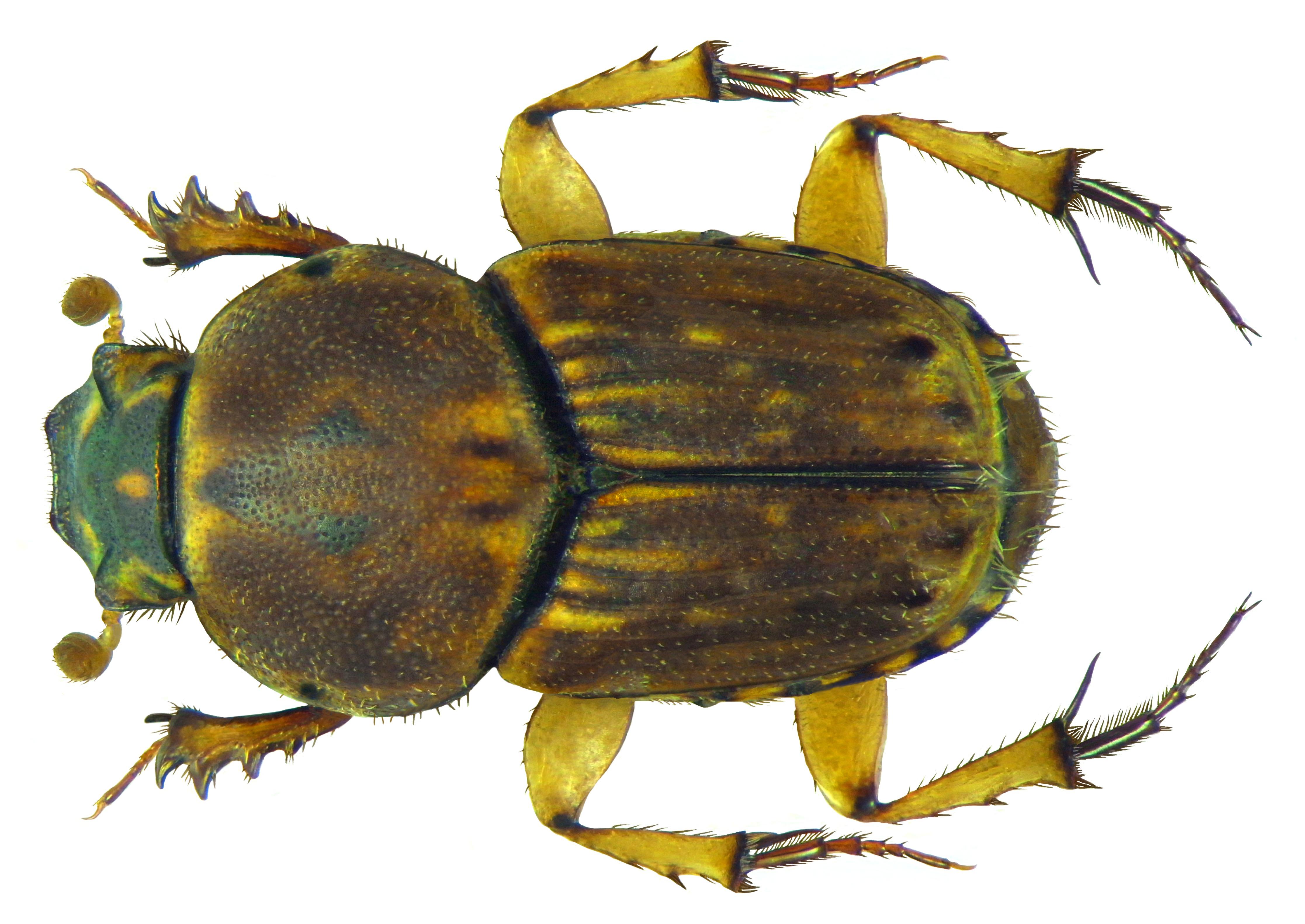 Image of <i>Euoniticellus triangulatus</i> (Harold 1873)