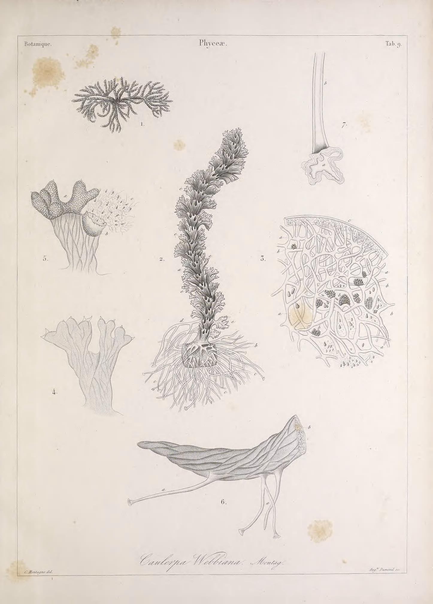 Image of <i>Caulerpa webbiana</i>