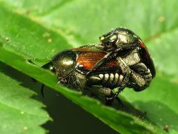 Image of Japanese beetle