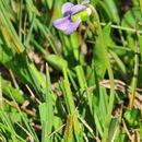 Image of marsh violet