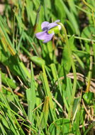 Image of marsh violet
