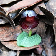 Image of Stately helmet orchid