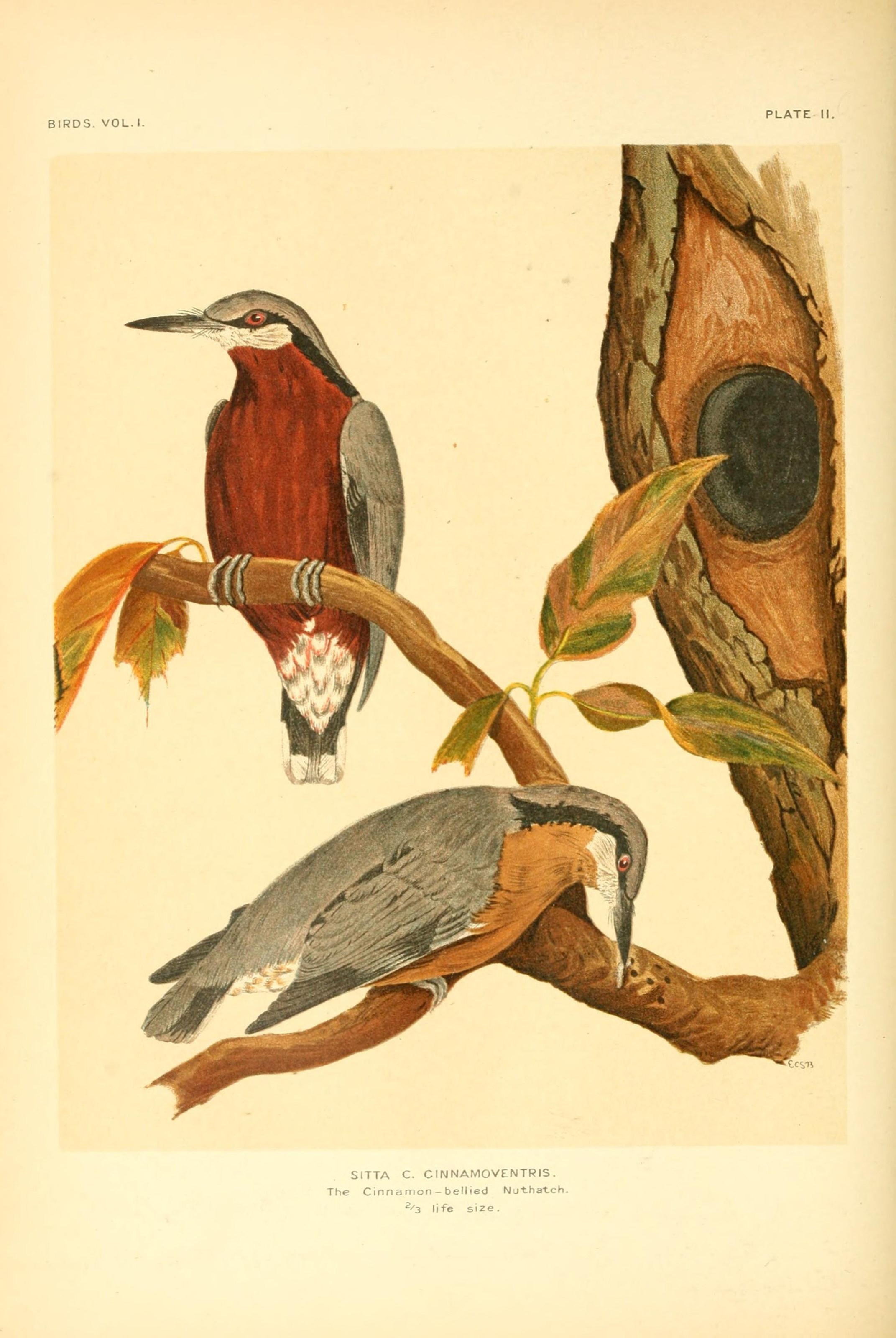 Image of Chestnut-bellied Nuthatch