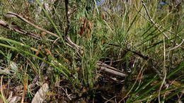 Image of <i>Schizaea bifida</i>