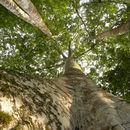 Image of <i>Ficus insipida</i> Willd.