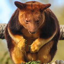 Image of Goodfellow's Tree-kangaroo
