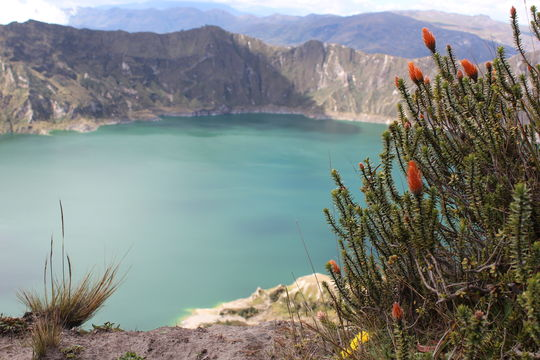 Image of flower of the Andes