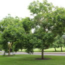 Image of Japanese pagoda tree