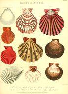 Слика од <i>Amusium pleuronectes</i> (Linnaeus 1758)