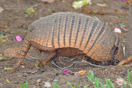 Image of Six-Banded Armadillo