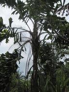 Image of <i>Aiphanes aculata</i>