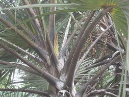 Image of <i>Brahea dulcis</i> (Kunth) Mart.