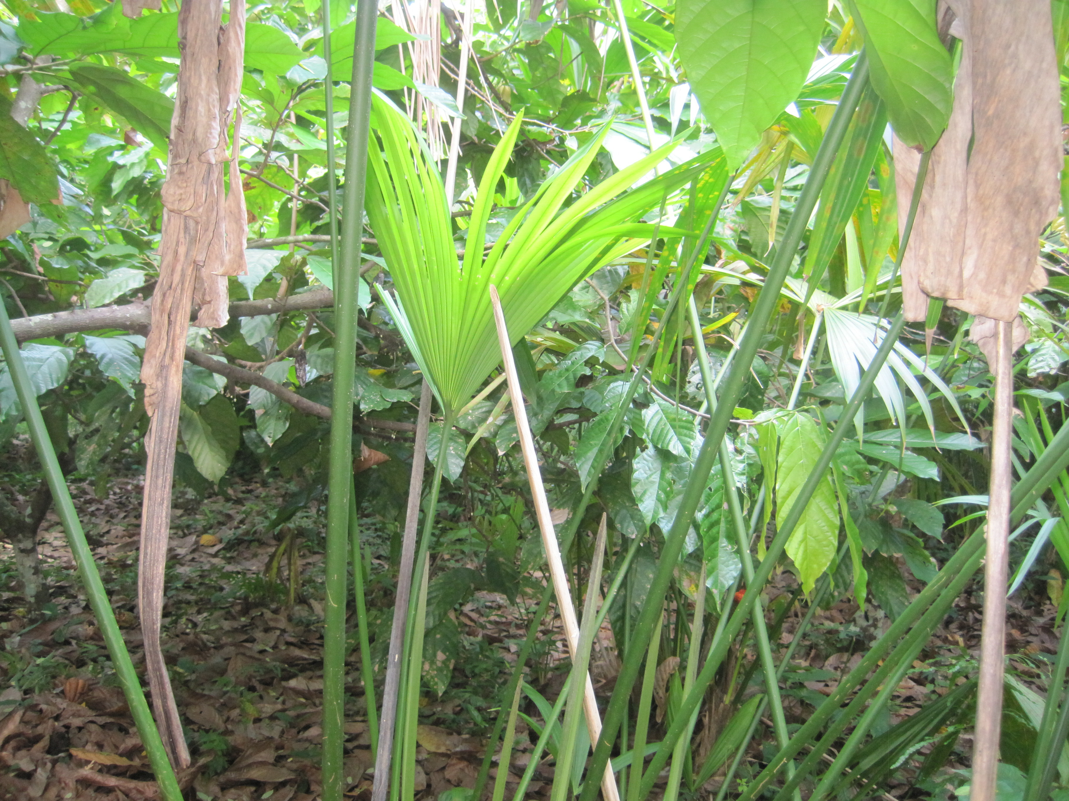 Image of <i>Carludovica rotundifolia</i> Schaedtler
