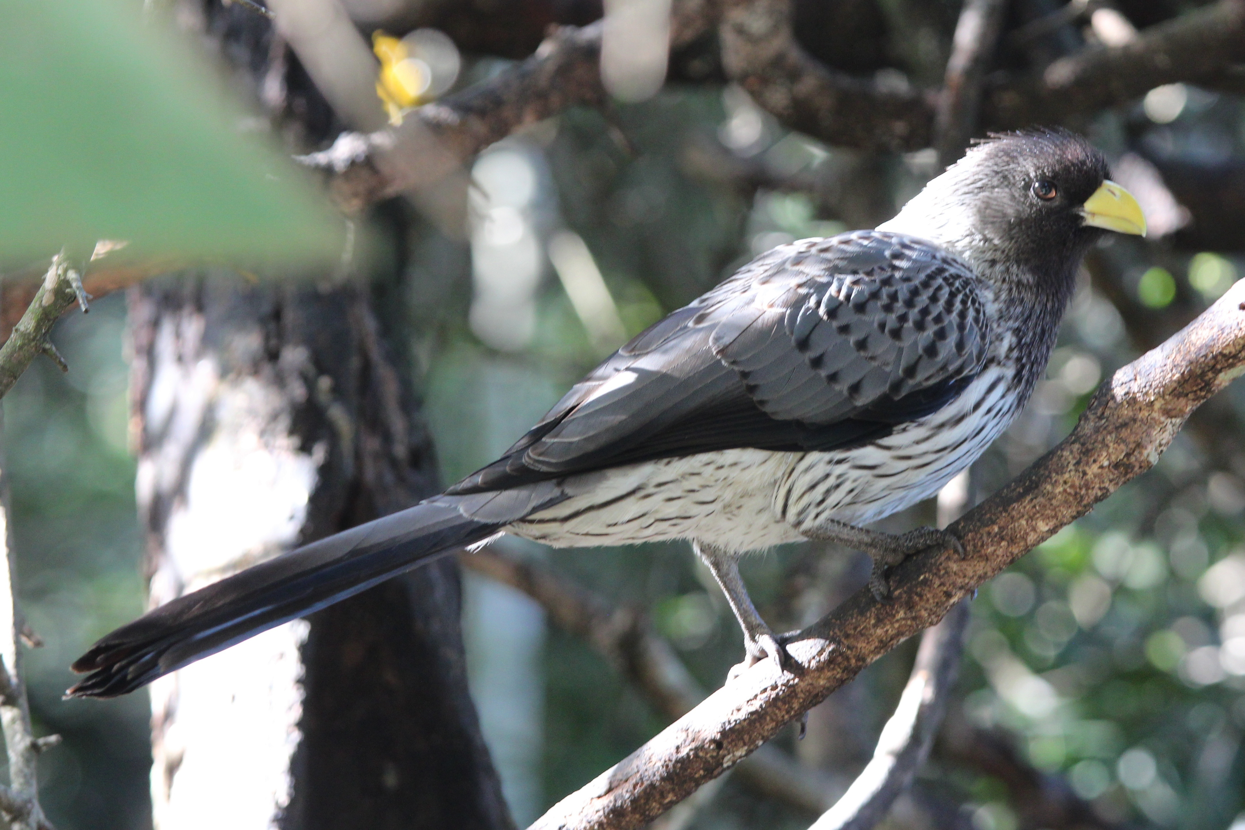 Image of Western Grey Plantain-eater
