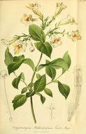 Image of <i>Weigela middendorffiana</i>