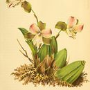 Image of <i>Lycaste brevispatha</i> (Klotzsch) Lindl. & Paxton