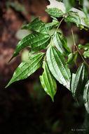 Image of <i>Ziziphus pubescens</i> Oliver