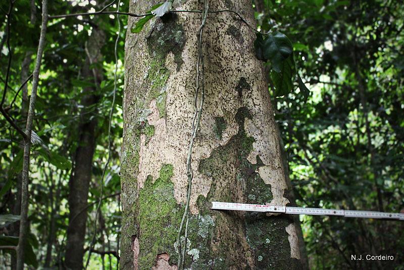 Image of Strombosia