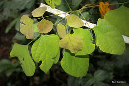Image of <i>Agelaea pentagyna</i> (Lam.) Baill.
