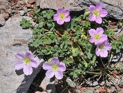 Image of <i>Geranium <i>cinereum</i></i> cinereum