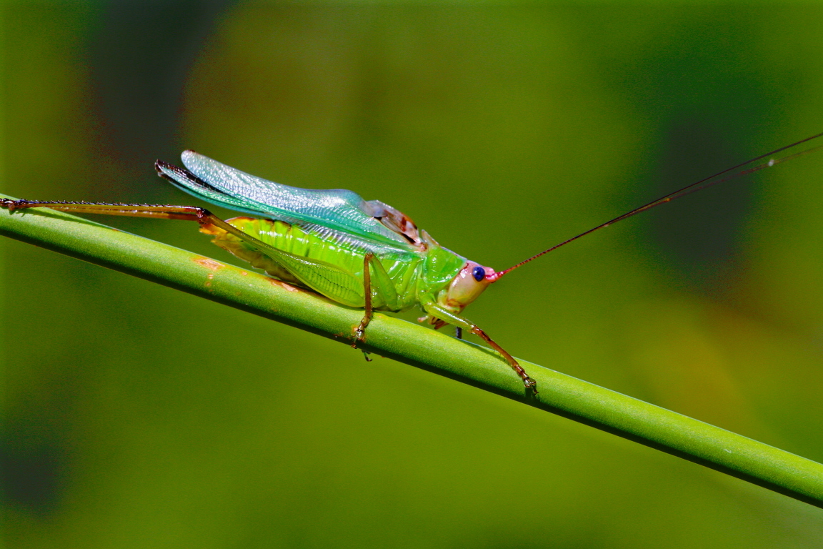 Image of Handsome Meadow Katydid