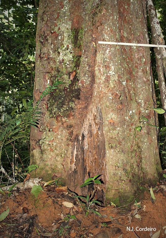 Image of <i>Allanblackia stuhlmannii</i> (Engl.) Engl.