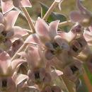 Image of nodding milkweed