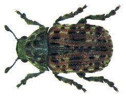 Image of <i>Anthribus fasciatus</i> Forster & J. R. 1770