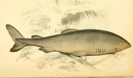 Image of <i>Somniosus microcephalus</i> (Bloch & Schneider 1801)