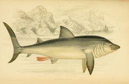 Image of Basking Shark