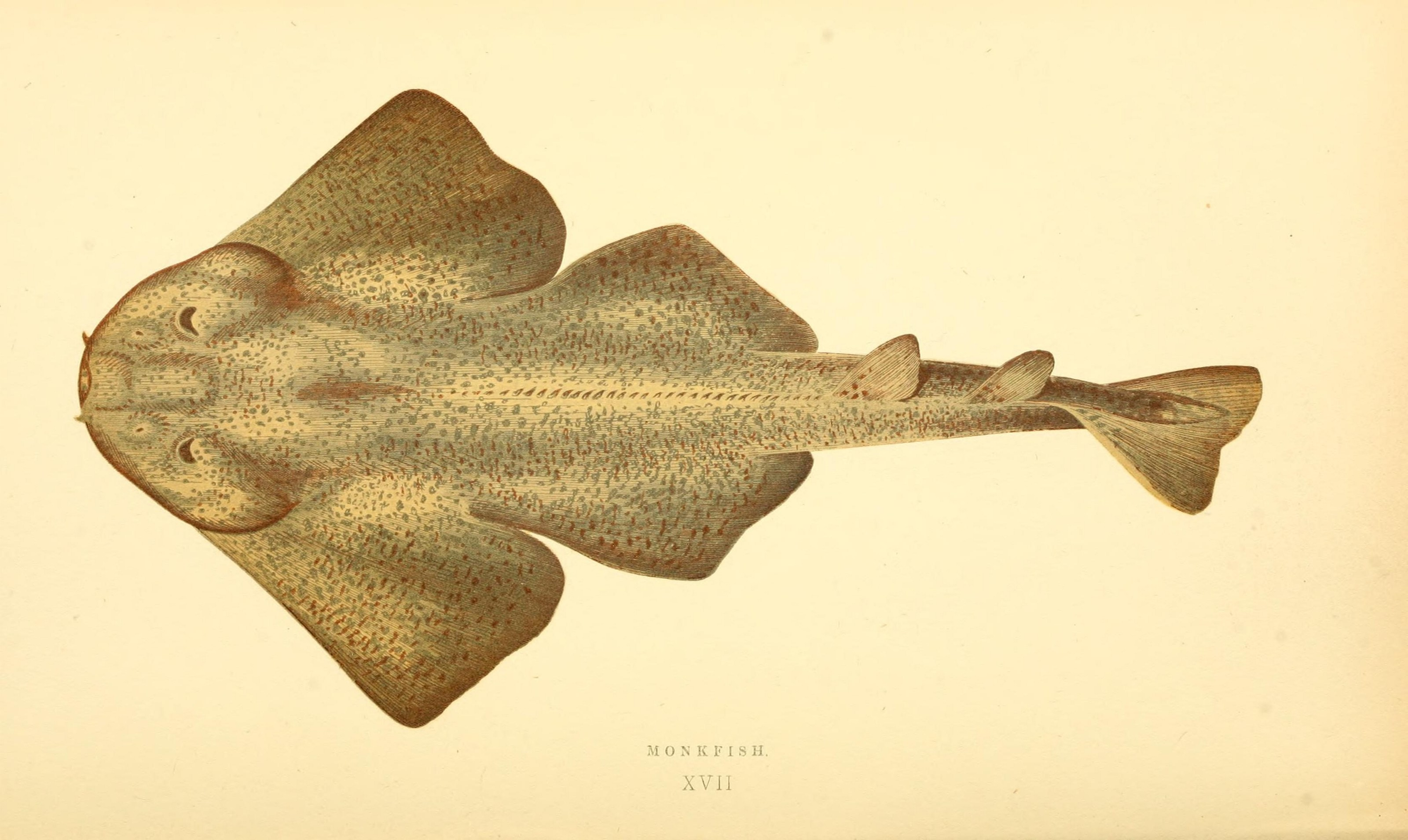 Image of Angel Shark