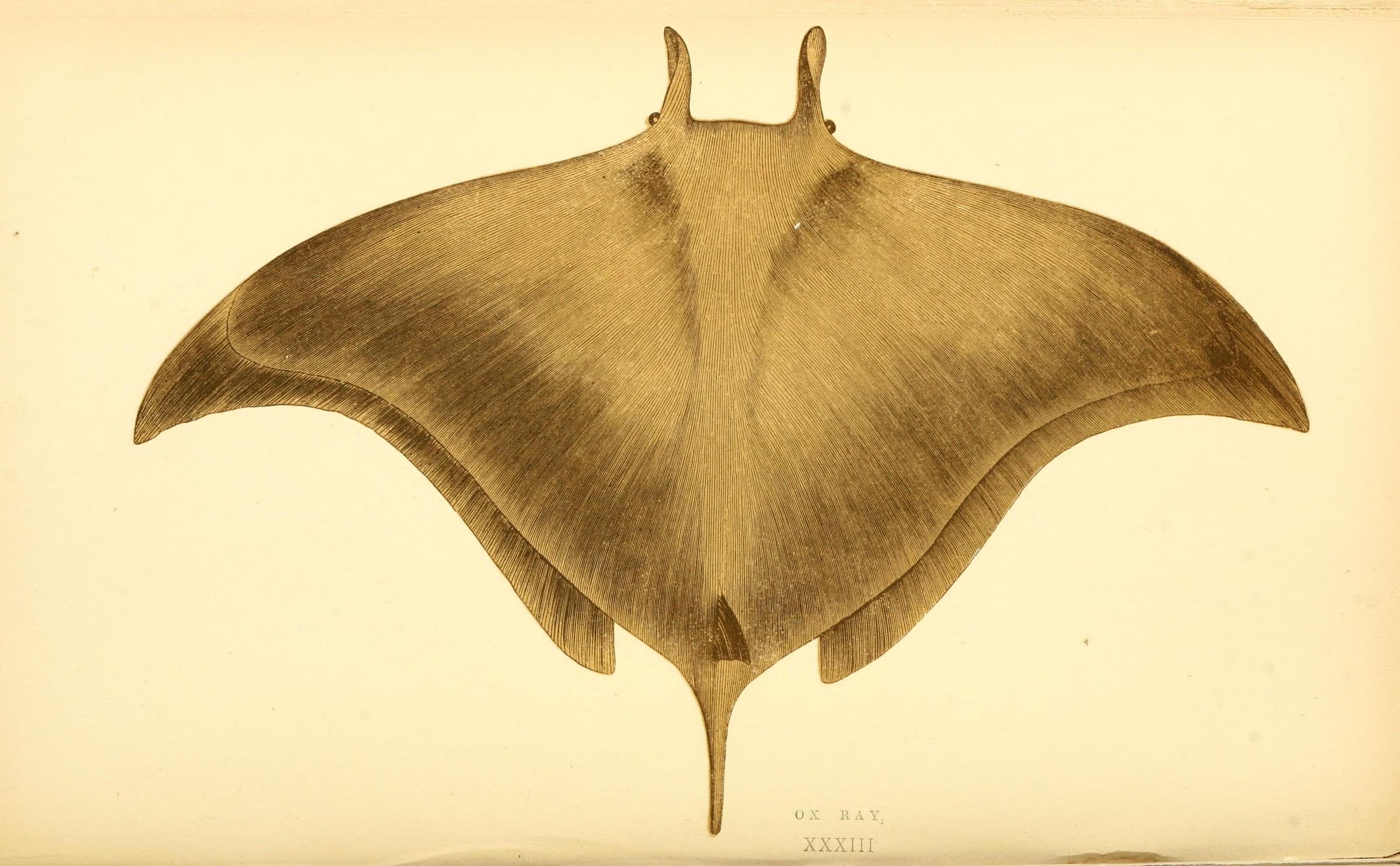Image of Pygmy Devilray