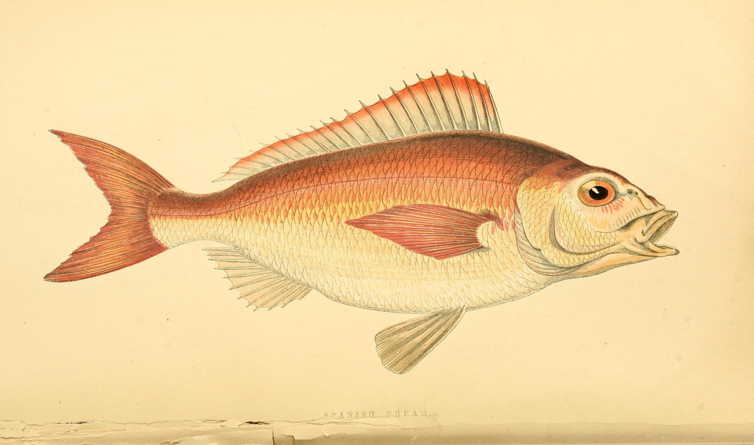 Image of Auxillary seabream