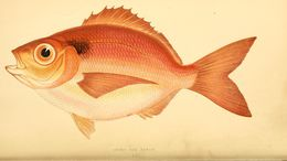 Image of <i>Pagellus curtus</i> Couch 1844