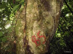 Image of <i>Drypetes gerrardii</i> Hutch.