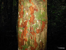Image of Forest peach