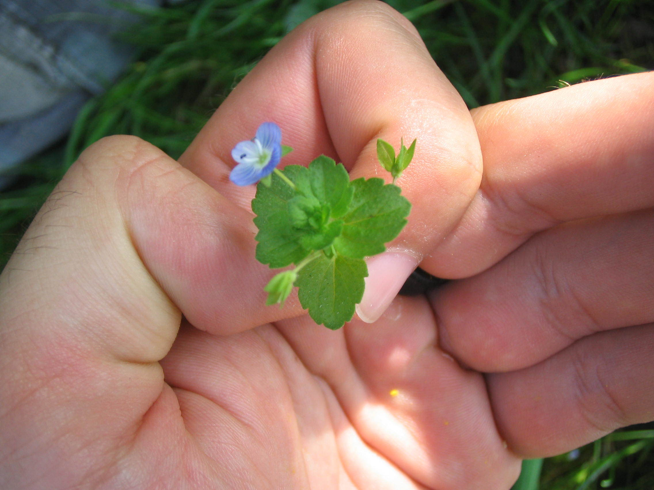 Image of bird's-eye speedwell
