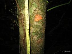 Image of <i>Placodiscus amaniensis</i> Radlk.