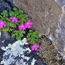 Image of <i>Primula hirsuta</i> All.