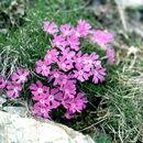 Image of <i>Primula minima</i> L.