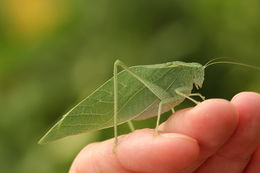 Image of Greater Angle-wing Katydid
