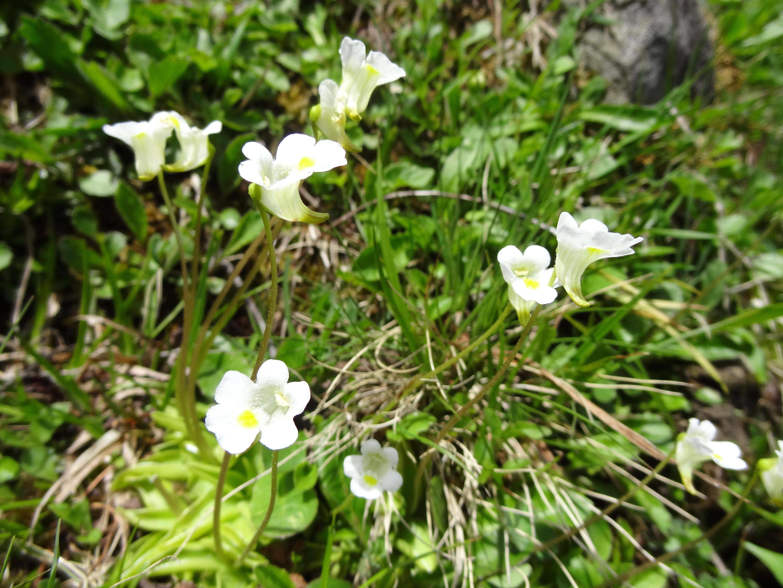 Image of <i>Pinguicola alpina</i>